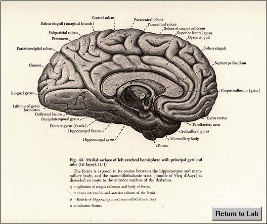 Gross Brain Atlas: Brain Dissection - Medial